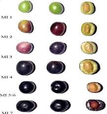 مراحل تغییر رنگ زیتون